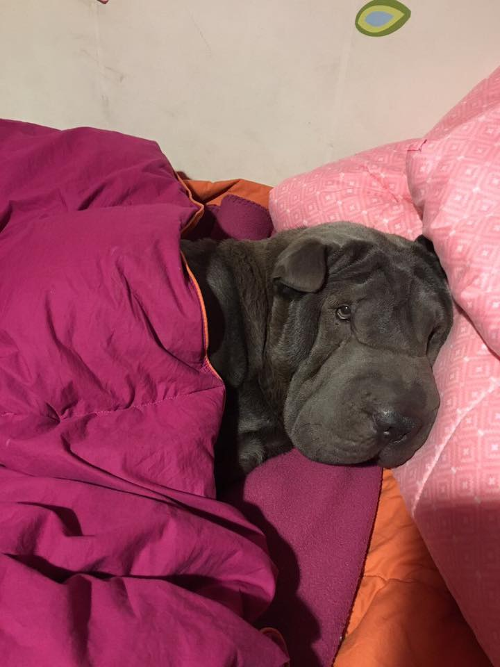 Sharpei chocolate abrigado