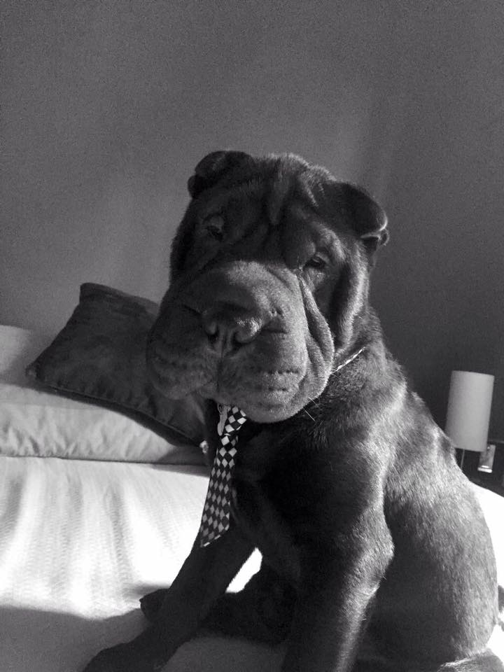 Sharpei chocolate con su corbata